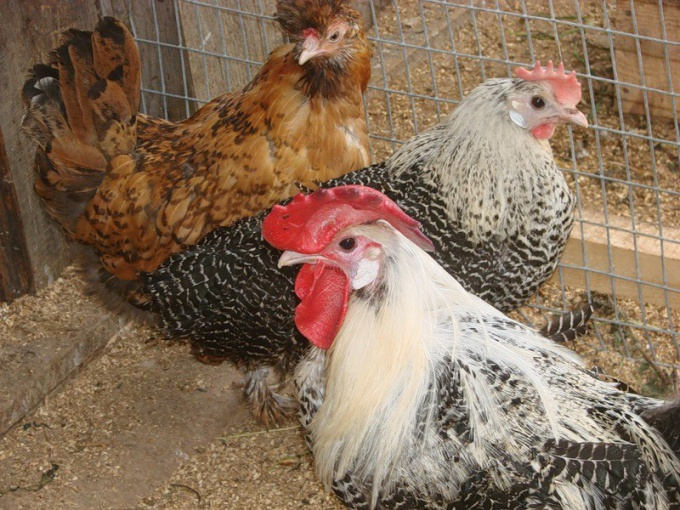 Laying hens: the care and feeding