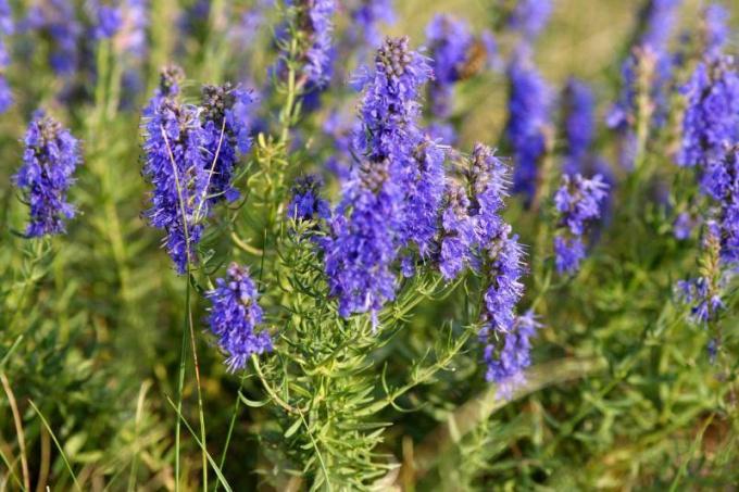 Иссоп: особенности выращивания и заготовки