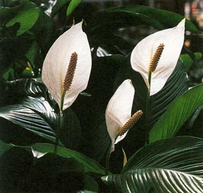 Houseplant Spathiphyllum