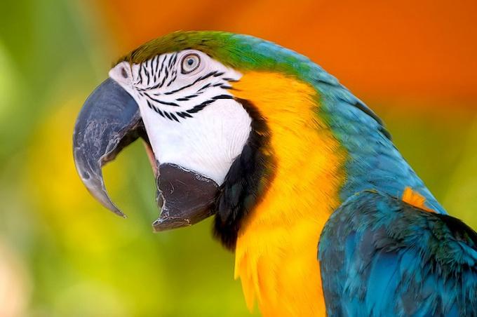 Какие виды домашних попугаев бывают?