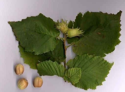 Листья и плоды лещины обыкновенной