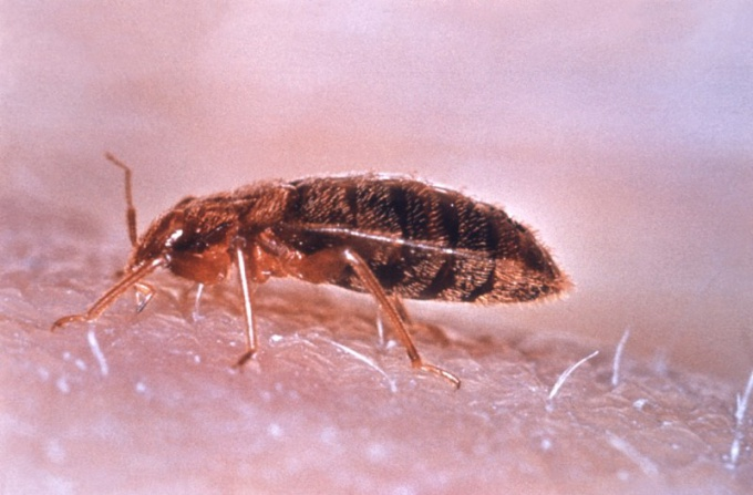 Where usually live bed bugs, where to look for their lair