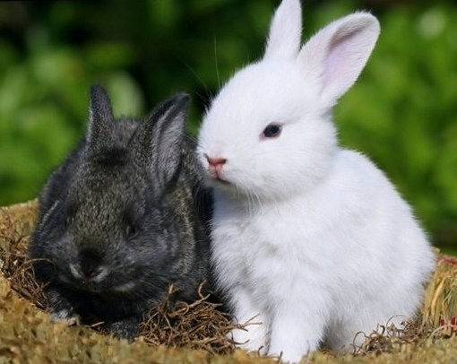 What kind of grass it is impossible to give rabbits and why