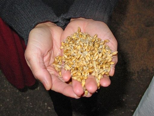 Пророщенное для солода зерно ячменя