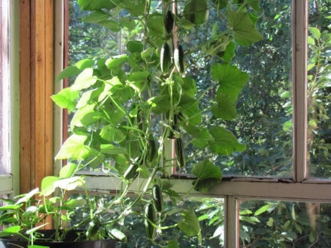 Какой сорт огурцов лучше всего подойдет для балкона: обзор