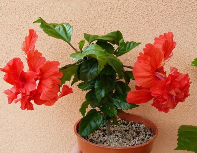 Гибискус, или китайская роза: уход в домашних условиях