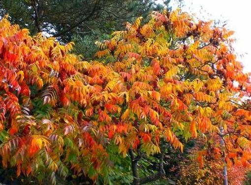 Один из самых декоративных кустарников - сумах или уксусное дерево