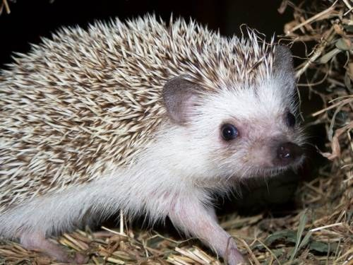 What are you afraid of hedgehogs