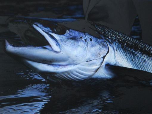 Какие виды рыб лососевых пород существуют и их описание