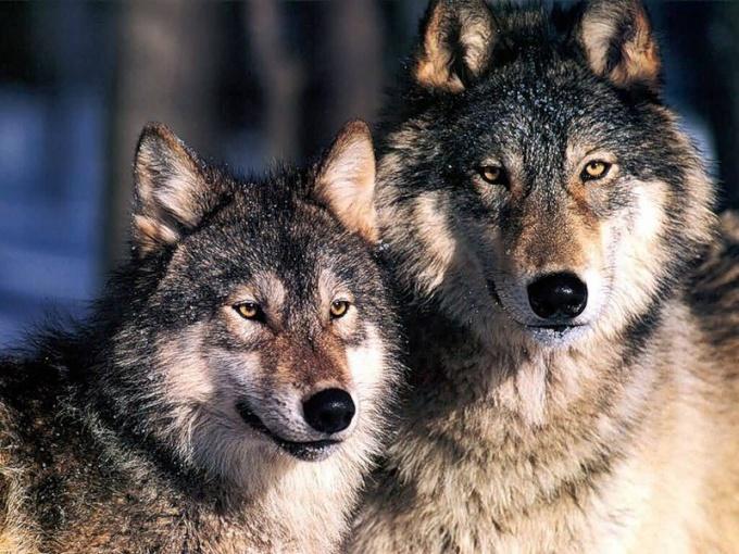 Правда ли, что у волка одна волчица и на всю жизнь