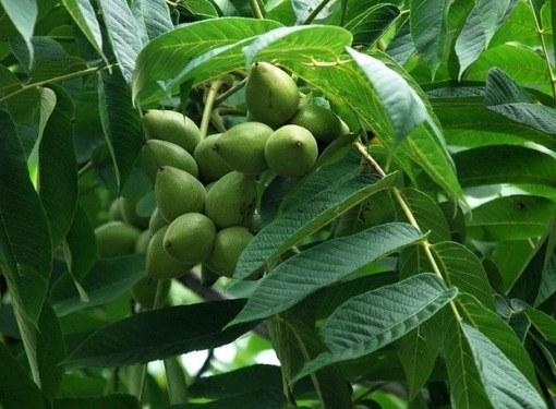 Как растет грецкий орех дерево