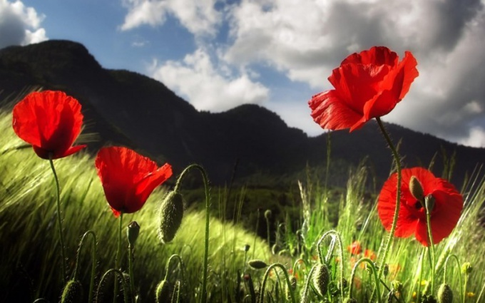 Why the poppy is a drug