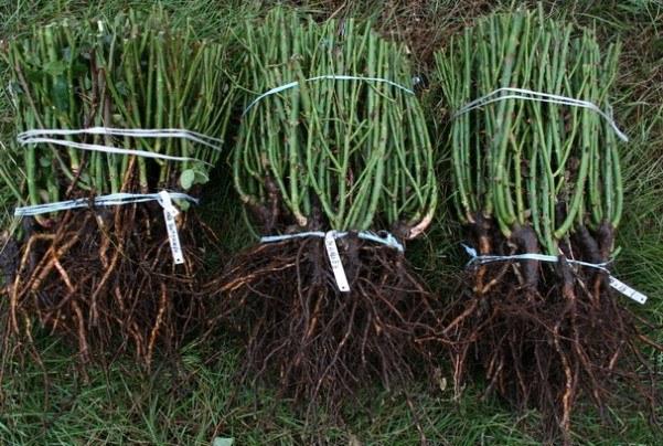 Саженцы роз с открытой корневой системой