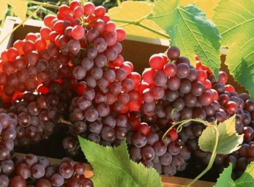 Амурский виноград растет на Амуре и считается одним из самых холодостойких
