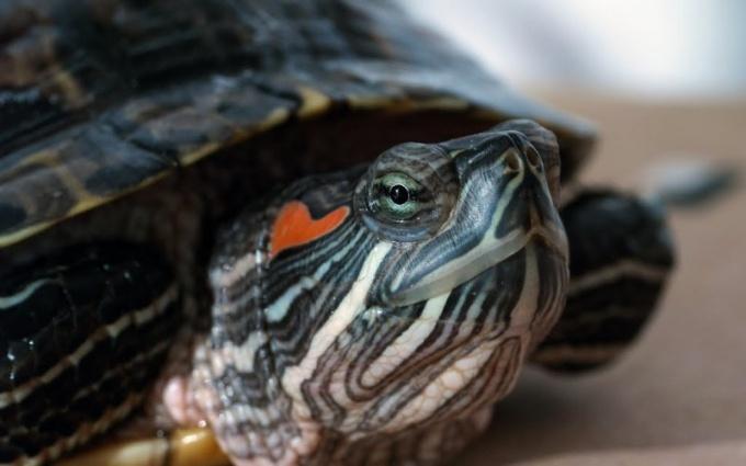 Почему у красноухой черепахи стал мягким панцирь