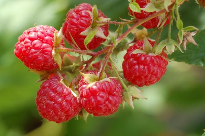 ягода малина фото