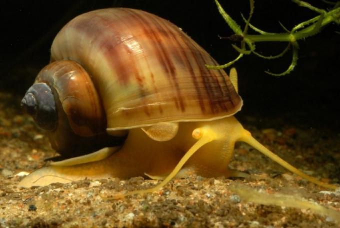 У аквариумных улиток нет предпочтительных мест для кладки яиц