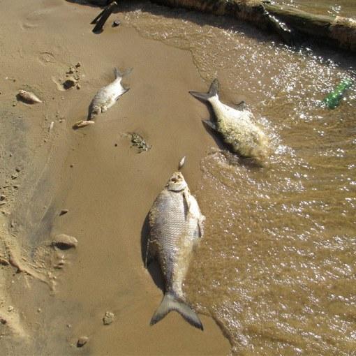 Как выглядит рыба с солитерам