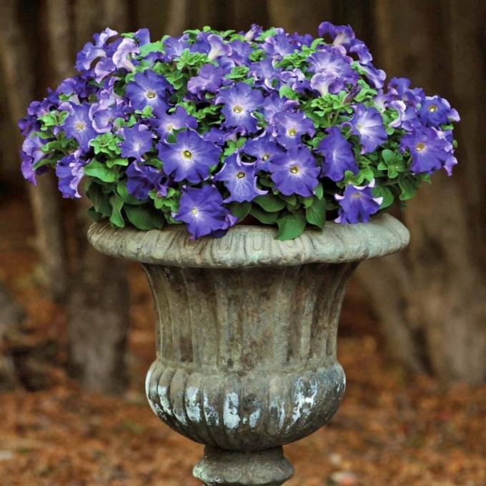 Цветок герань великолепная цветов 16