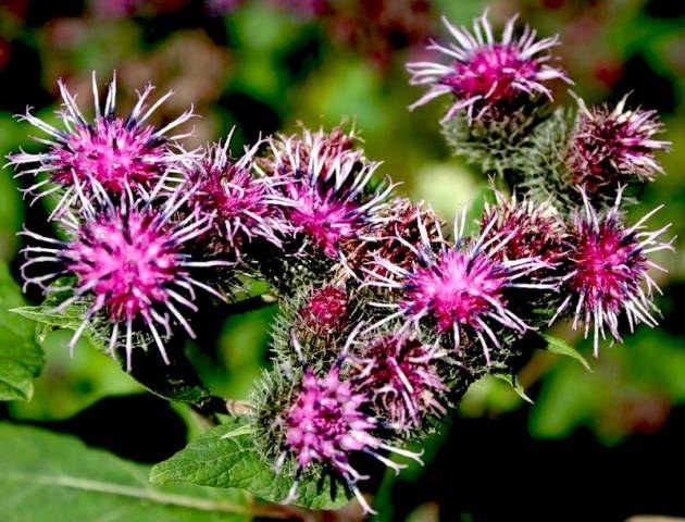 Burdock oil is made from burdock root