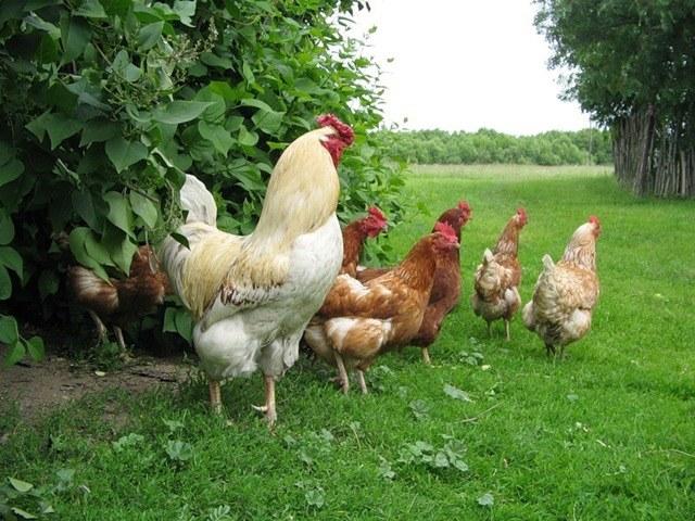 Знание правил иннкубации помогает увеличить поголовье домашней птицы