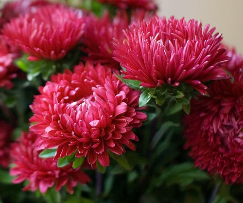 What is needed for abundant flowering asters annuals