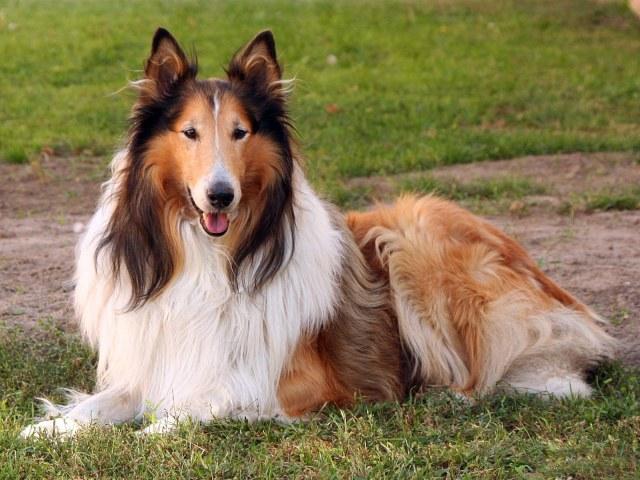 Какие имена подходят для собак породы колли?
