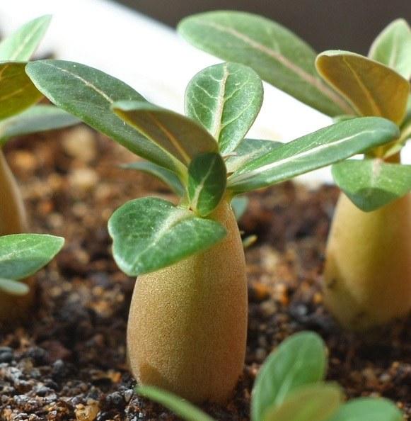 Как и когда сеять семена адениума