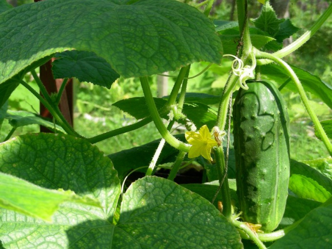 How and when to apply fertilizers need cucumbers