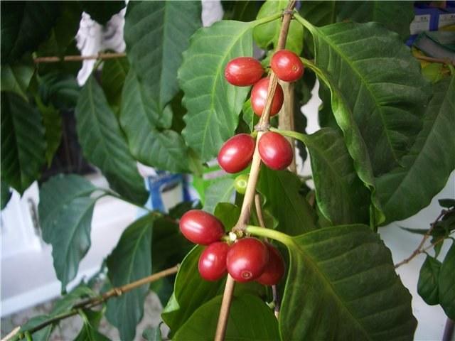 Выращивание кофе из семени: правила и нюансы