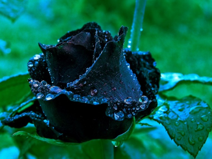 Are there black roses: varieties