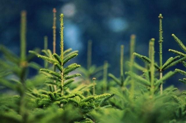 Какая елка лучше - натуральная или искусственная