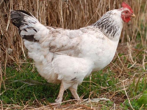 Разведение домашних кур
