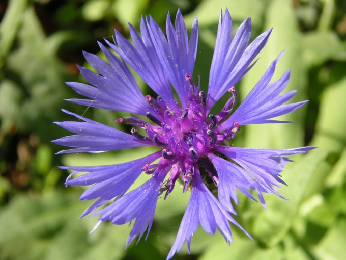 How to grow garden cornflowers