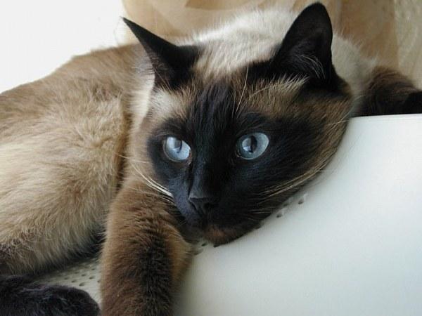 Вязка сиамских кошек