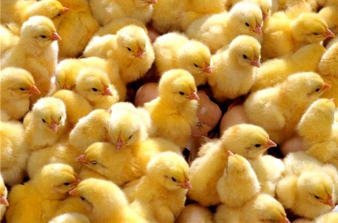 Бройлеры - специально откормленные цыплята