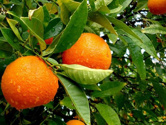 Как выращивать апельсины