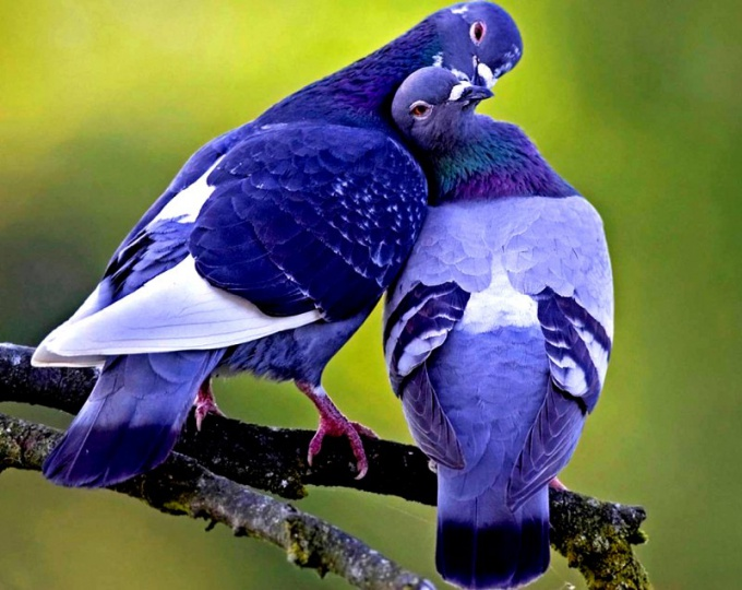 Голуби, как и все живые существа, подвержены риску заболеть