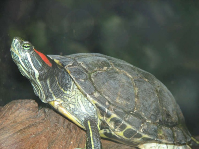 How to care for red-turtle