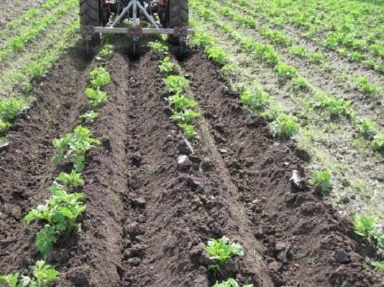 Как сажать и выращивать картофель