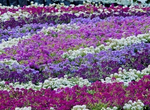 Почвопокровное растение алиссум