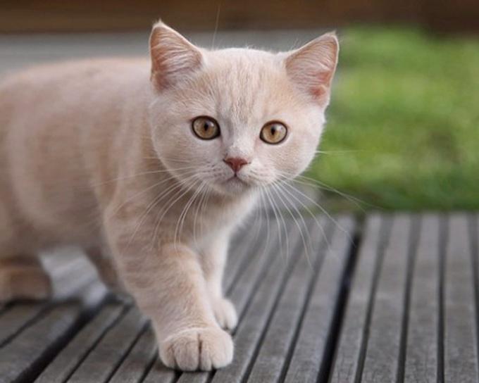 Как предпочесть гладкошерстную кошку
