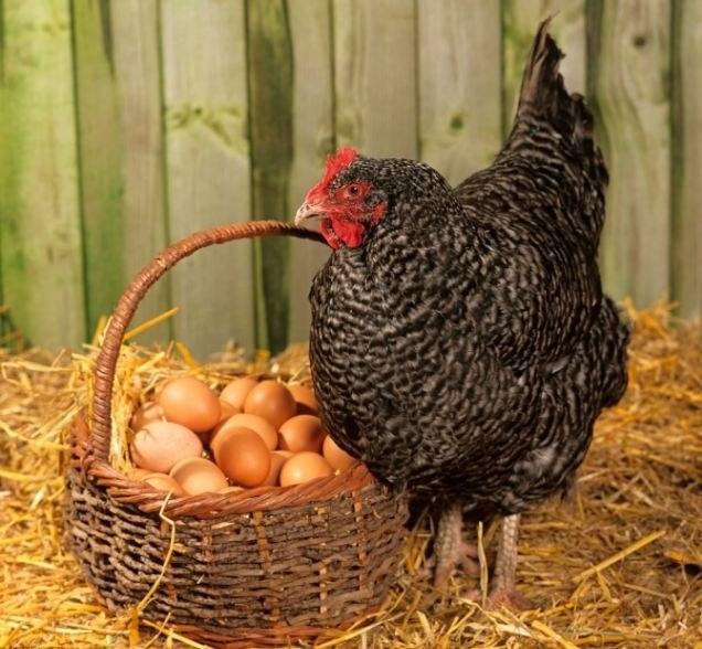 Как курица высиживает яйца