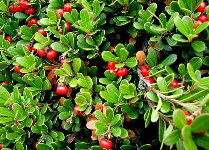 Толокнянку, очень похожую на бруснику, в народе называют «медвежьими ушками» или «медвежьей ягодой»