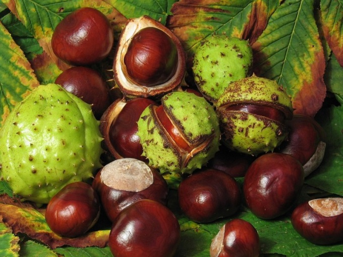 How to prepare a tincture chestnut