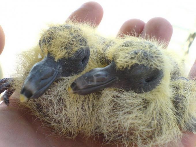 Как выглядят птенцы голубей