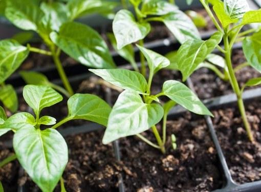 Как высаживать сладкий перец в грунт