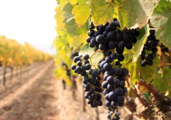 Как сажать виноград в 2017 году