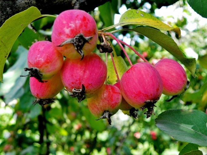 Как вырастить китайское яблоко