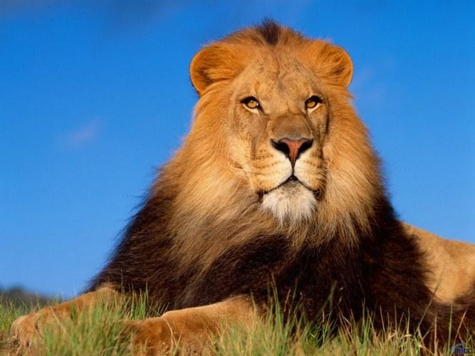 Африканский лев - рекордсмен по продолжительности сна